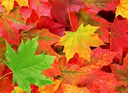 kouyou-big-leaves